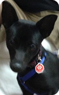 Chihuahua Mix Dog for adoption in Thousand Oaks, California - Bubba
