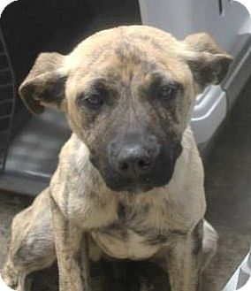 Great Dane/Shepherd (Unknown Type) Mix Puppy for adoption in North Olmsted, Ohio - Lionel