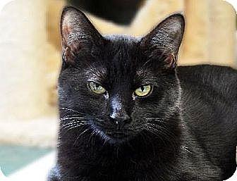 Domestic Shorthair Cat for adoption in Toledo, Ohio - PASSION