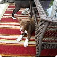 Adopt A Pet :: Corky - Braintree, MA
