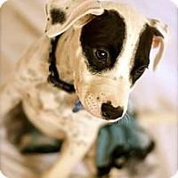 Adopt A Pet :: Panda - Gilbert, AZ