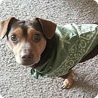 Adopt A Pet :: Gibson - Norman, OK