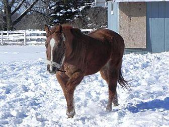 Quarterhorse for adoption in Woodstock, Illinois - Franklin