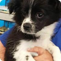 Adopt A Pet :: Britton - House Springs, MO