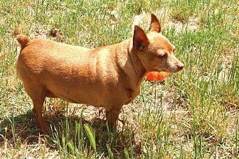 Miniature Pinscher Mix Dog for adoption in Auburn, California - BEBE