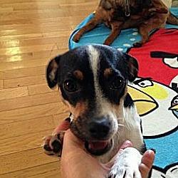 Photo 3 - Rat Terrier Mix Dog for adoption in Burbank, California - Bella Luna