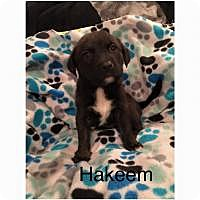 Adopt A Pet :: Hakeem - Marlton, NJ
