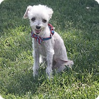 Adopt A Pet :: Timmy - Henderson, NV