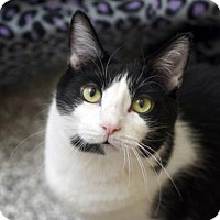 Domestic Shorthair Cat for adoption in Chattanooga, Tennessee - Frank Sinatra