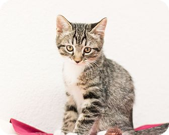 Domestic Mediumhair Kitten for adoption in Fountain Hills, Arizona - John