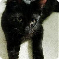 Domestic Shorthair Cat for adoption in Elyria, Ohio - Mark
