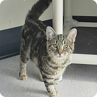 Domestic Shorthair Kitten for adoption in Elizabeth City, North Carolina - Melissa