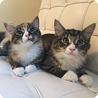 Domestic Mediumhair Kitten for adoption in Chicago, Illinois - Harley Quinn