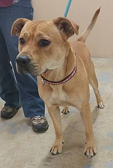 Labrador Retriever/Pit Bull Terrier Mix Dog for adoption in Trenton, Missouri - Rousey