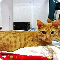 Domestic Mediumhair Cat for adoption in Belleville, Michigan - Johnny