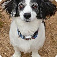 Adopt A Pet :: Chiqui - Worcester, MA