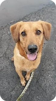 Retriever (Unknown Type)/Shepherd (Unknown Type) Mix Dog for adoption in Neenah, Wisconsin - Jack