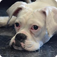 Adopt A Pet :: Pearl *DEAF* - Woodbury, MN