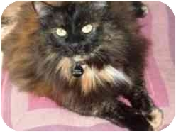 Domestic Longhair Cat for adoption in Pasadena, California - Chela