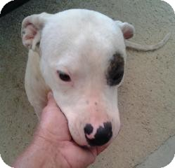 Pit Bull Terrier Mix Dog for adoption in Winter Haven, Florida - Petey