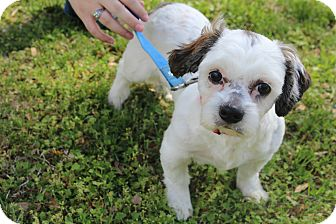 Shih Tzu Puppy for adoption in Wytheville, Virginia - Bolt