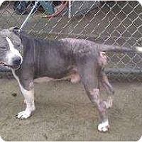 Adopt A Pet :: Spanky *DEAF* - Chicago, IL