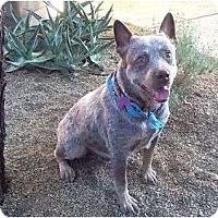 Adopt A Pet :: Winston ADOPTION PENDING - Phoenix, AZ
