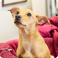 Adopt A Pet :: Iggy - Knoxville, TN