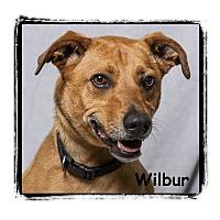 Adopt A Pet :: Wilbur - Warren, PA