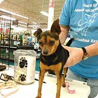Chihuahua/Miniature Pinscher Mix Dog for adoption in Martinez, Georgia - Max
