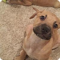Adopt A Pet :: Samson - Manassas, VA