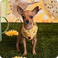 Adopt A Pet :: Johnny - Mesa, AZ