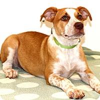 Adopt A Pet :: Jessie - Glastonbury, CT
