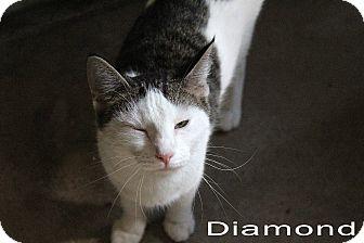 Domestic Shorthair Cat for adoption in Texarkana, Arkansas - Diamond