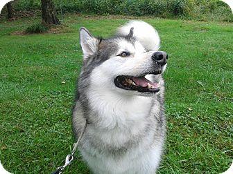 Alaskan Malamute Mix Dog for adoption in Augusta County, Virginia - Lady Shadow
