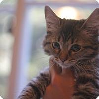 Domestic Mediumhair Kitten for adoption in Los Angeles, California - Lila