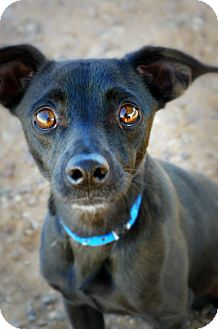 Terrier (Unknown Type, Small)/Chihuahua Mix Dog for adoption in Casa Grande, Arizona - Freefall