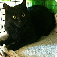 Maine Coon Kitten for adoption in Randolph, New Jersey - Harry Potter