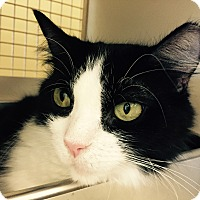 Domestic Mediumhair Cat for adoption in Warren, Michigan - Serena