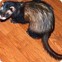 Adopt A Pet :: Bella - Acworth, GA