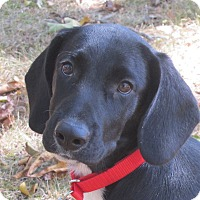 Adopt A Pet :: Astro - Allentown, PA