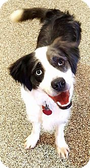 Border Collie Dog for adoption in Plymouth, Indiana - Cooper
