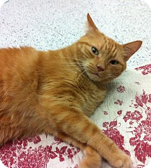 Domestic Shorthair Cat for adoption in Warminster, Pennsylvania - Garfield