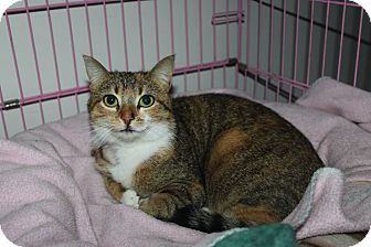 Domestic Shorthair Cat for adoption in North Branford, Connecticut - Lola