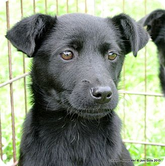 Border Collie/Feist Mix Puppy for adoption in Groton, Massachusetts - Cricket 12 pound sweetie