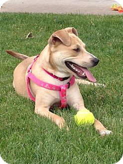 Labrador Retriever Mix Dog for adoption in Chicago, Illinois - Basil