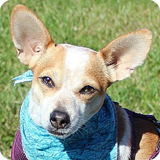 Chihuahua/Jack Russell Terrier Mix Dog for adoption in Fairfax, Virginia - Andy