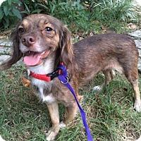 Adopt A Pet :: Britney - Sugarland, TX