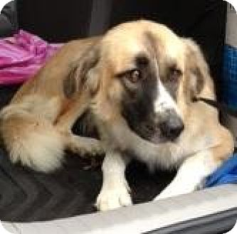 Shepherd (Unknown Type)/Anatolian Shepherd Mix Dog for adoption in Quinlan, Texas - Shadow