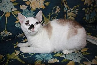 Domestic Shorthair Cat for adoption in Pikeville, Kentucky - Mouse